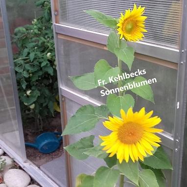 Sonnenblume©Gretel-Bergmann-Grundschule Eystrup