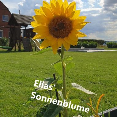 Sonnenblume E.©Gretel-Bergmann-Grundschule Eystrup